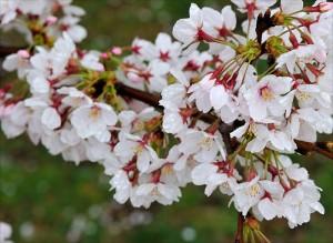 雨にぬれる桜の花